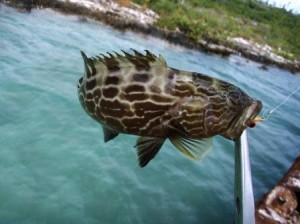 skunk breaker, but no bonefish (a nassau grouper, me thinks)