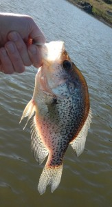 A crappie. It counts.
