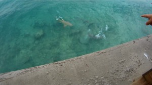 SHARKS! There are two (at least) in this pic. A big lemon and a bull.