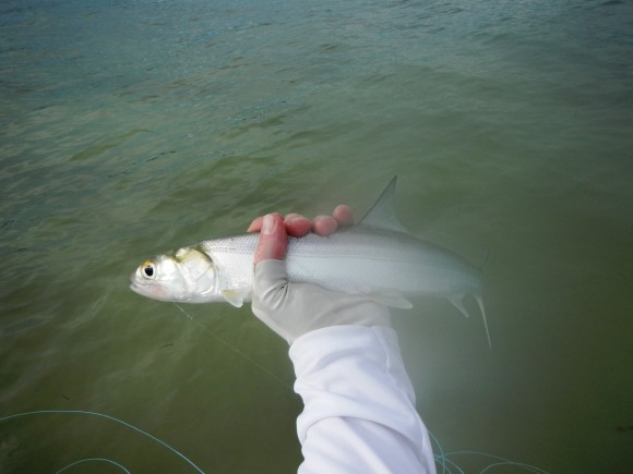 The almost Tarpon.