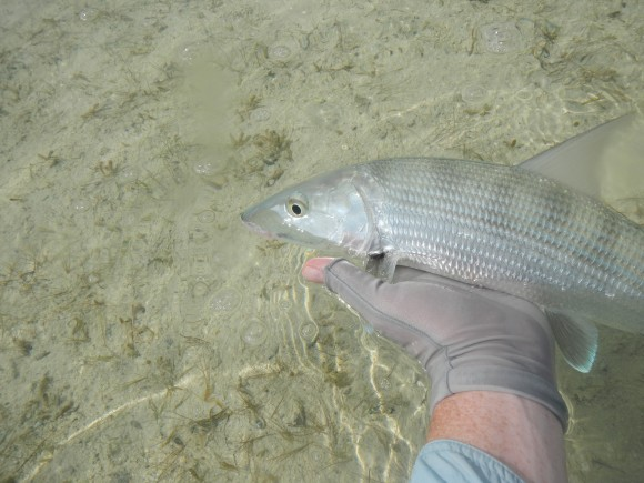 Long Island bonefish2