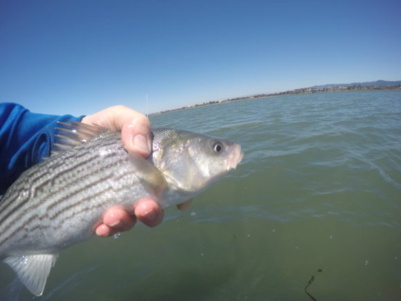 A little schoolie striper..